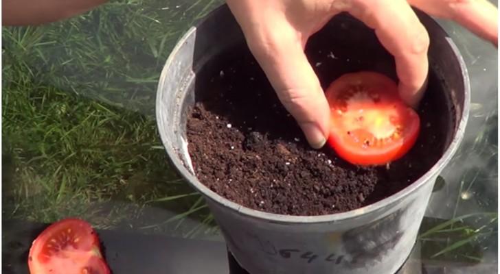 Corta um tomate e o enterra: veja como não comprar mais tomate no supermercado!