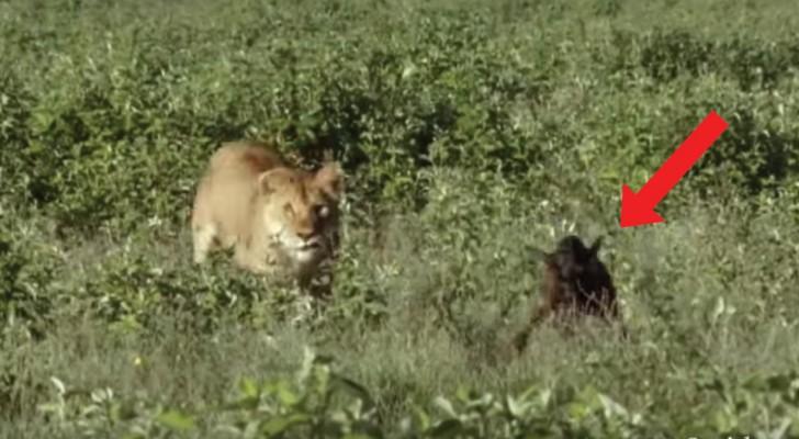 A lioness catches a newborn wildebeest ---See what happens next!