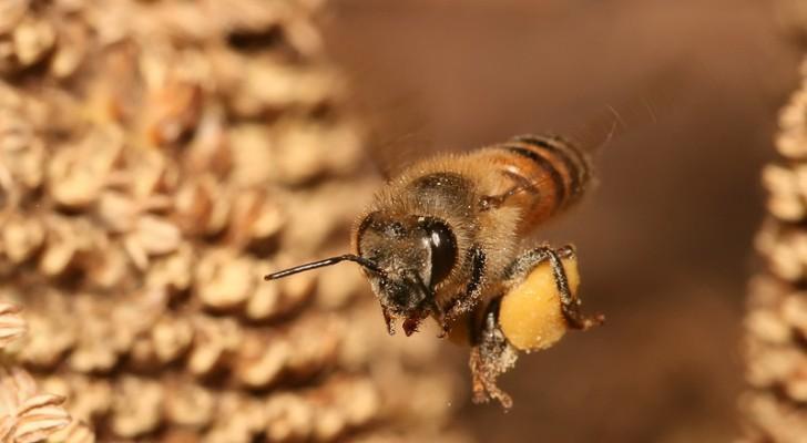 Perché il numero delle api nel mondo si sta gradualmente - e drasticamente - riducendo?