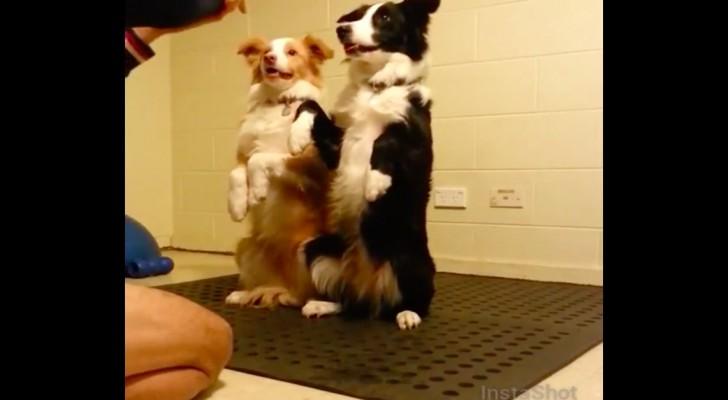 Twee honden staan klaar voor hun oefening: dit is wat ze hebben geleerd!