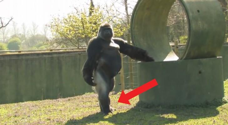 De hele wereld kijkt naar deze gorilla. Waarom? Kijk maar naar de manier waarop hij loopt...