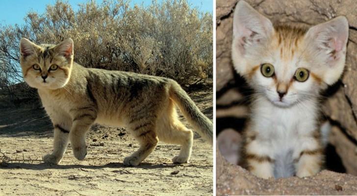 Ce petit chat sauvage a été photographié pour la première fois après 10 ans