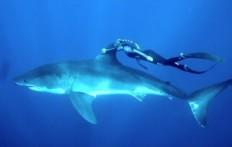 Lo squalo bianco e la coraggiosa nuotatrice