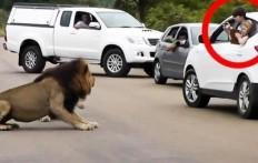 Il leone fa capire ai turisti che devono restare in macchina
