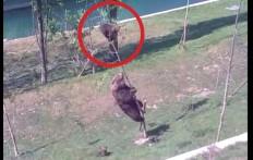 Un cucciolo è intrappolato sull'albero, ma mamma orsa ha un asso nella manica!