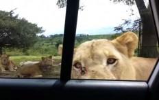 Stanno osservando i leoni, ma avviene qualcosa di imprevisto che vi farà sobbalzare!