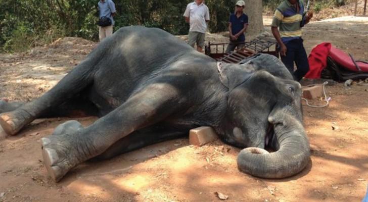 Victimes silencieuses du tourisme: un éléphant s'effondre au sol après une excursion à 40 °c