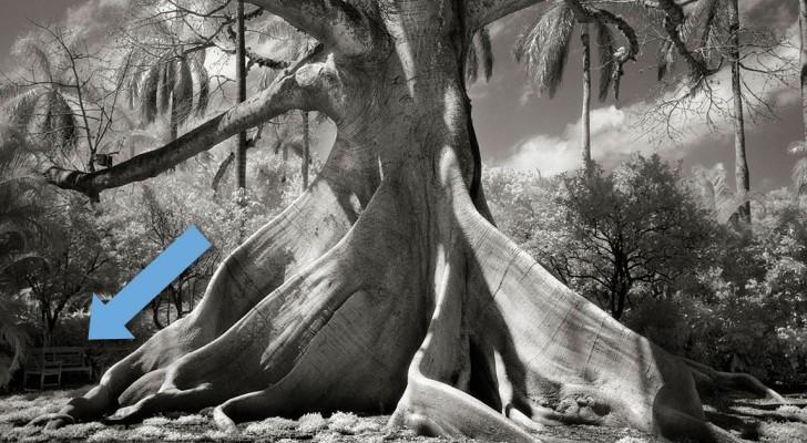 Voici les arbres les plus grands et vieux de la planète... et les histoires qu'ils ont à raconter