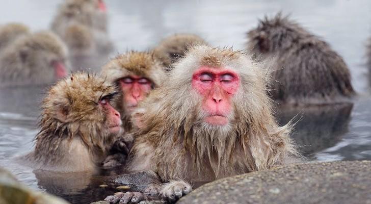 Scimmie che si rilassano nelle acque termali: le immagini sono pura poesia