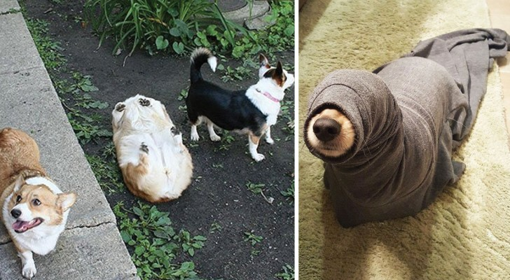 L'art de se mettre dans le pétrin: voici 23 chiens qui le font de manière adorable