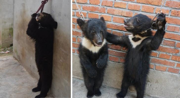 Comment sont dressés les ours pour qu'ils restent sur deux pattes? Ces images sont la réponse