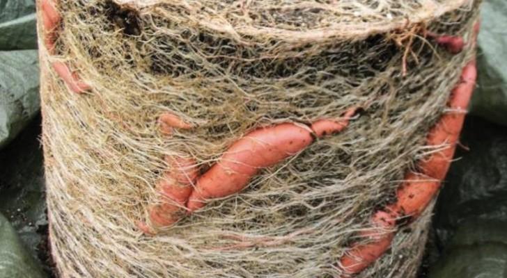Voici le guide pour auto-produire facilement 11 kg de patates douces dans un vase