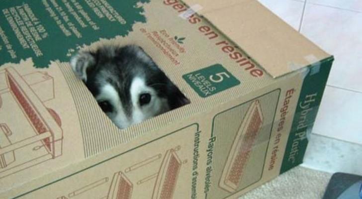 Questo husky è stato cresciuto dai gatti. Il risultato? Giudicate voi stessi...