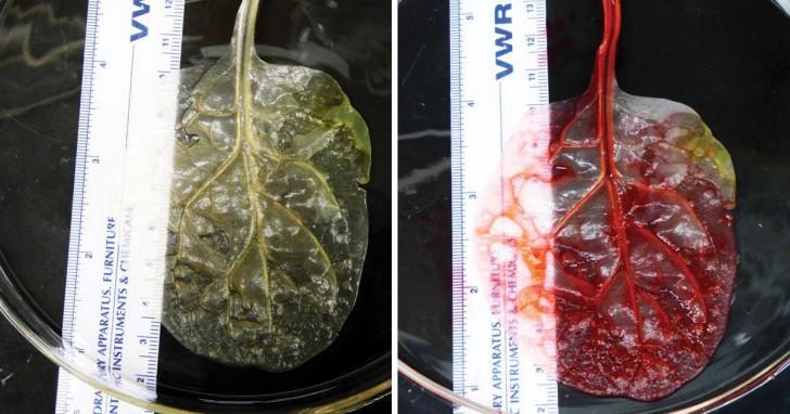 Tessuto cardiaco a partire da foglie di spinaci: questo metodo potrebbe rivoluzionare la chirurgia dei trapianti