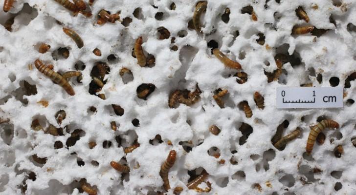 Gli scienziati scoprono un tipo di vermi in grado di smaltire la spazzatura in plastica che produciamo
