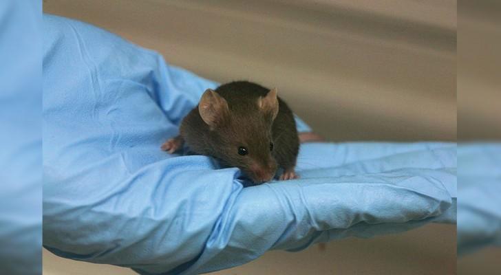 Er is een formule ontdekt die veroudering in het DNA van muizen terugdraait