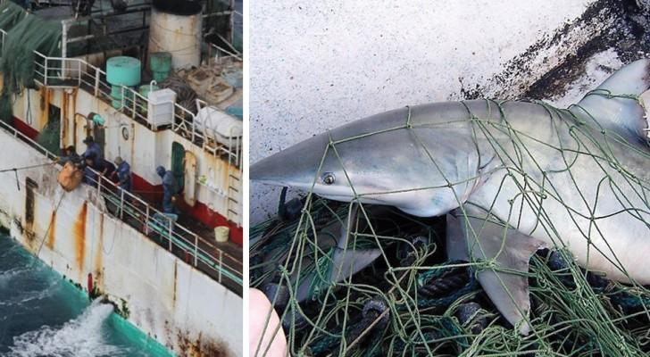 Uno studio smaschera la strage degli squali: ogni anno l'uomo ne uccide oltre 100 milioni