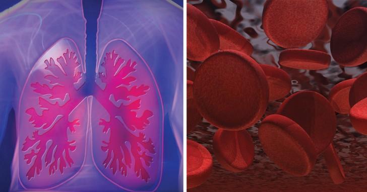 Scoperta un'insospettabile funzione dei polmoni: uno studio rivela che producono piastrine