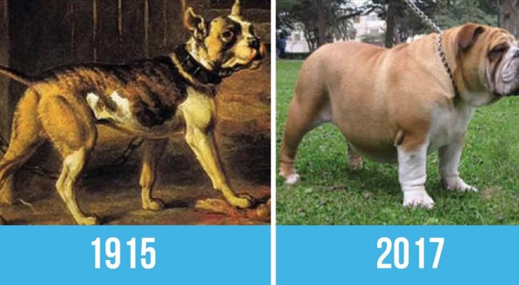 Dezelfde hondenrassen 100 jaar geleden en nu: was het echt de moeite waard?