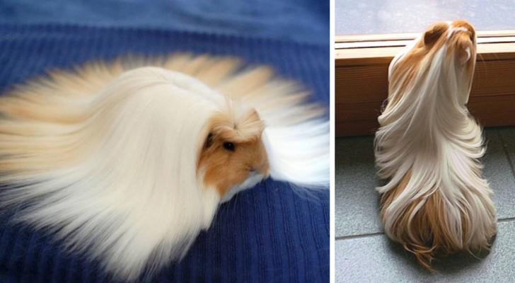 20 Porcellini d'India con il pelo più maestoso che abbiate mai visto