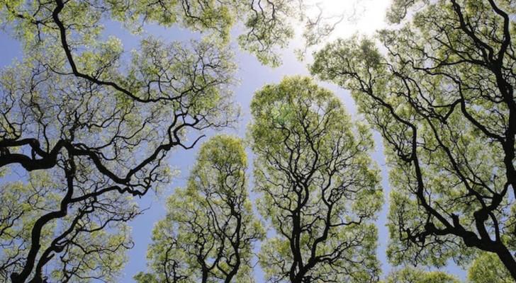 De takken van deze bomen kijken geheimzinnig genoeg wel uit om niet in elkaar verstrengeld te raken