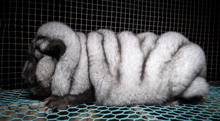 Renards génétiquement modifiés: l'horrible vérité derrière le marché de la fourrure