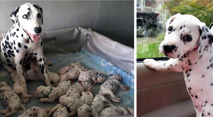 Eine Dalmatiner-Dame hat die Rekordnummer von 18 Welpen bekommen: Aber das letzte ist wirklich speziell