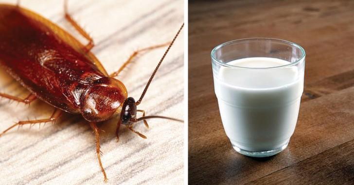 Wetenschappers voorspellen dat kakkerlakkenmelk het voedsel van de toekomst is