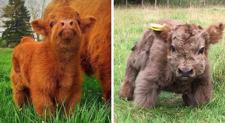 Ecco a voi la mucca Highlander, la razza scozzese dai cuccioli meravigliosi