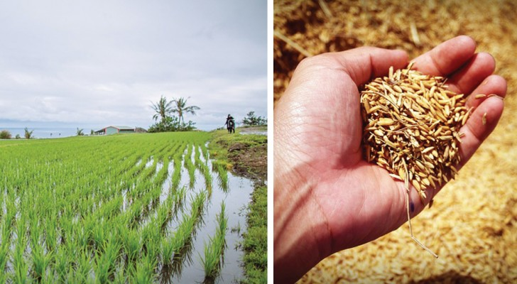 I ricercatori cinesi inventano un riso che cresce in acqua salata e che nutrirà più di 200 milioni di persone