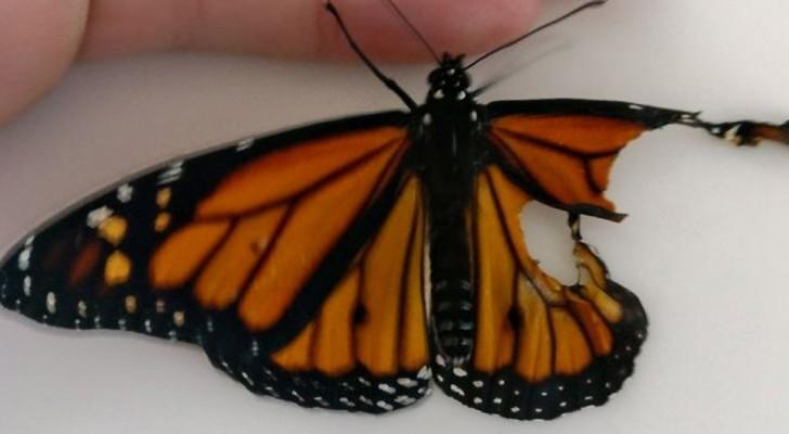 Trova una farfalla ferita: il modo in cui tenta di salvarla è del tutto assurdo ma efficace