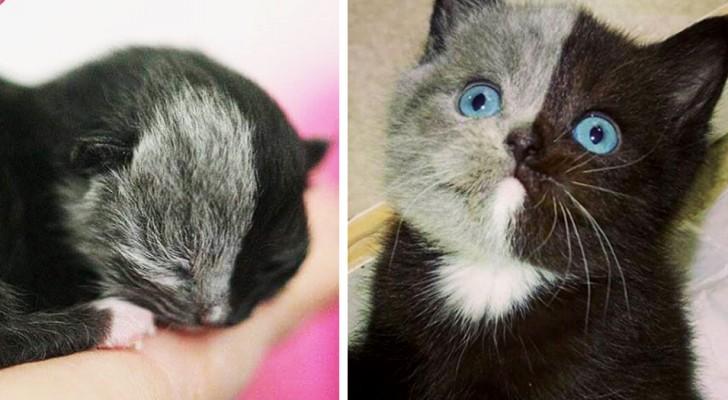 Questo gattino è nato con la faccia colorata a metà... e crescendo è diventato una meraviglia della natura