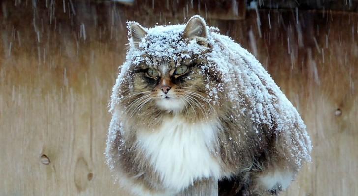 Questi gatti siberiani hanno preso il controllo di una fattoria e conquistato tutti con la loro maestosità