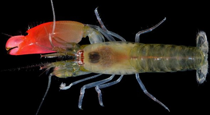 Des chercheurs découvrent l'existence de la crevette 'Pink Floyd', capable de tuer avec un son assourdissant