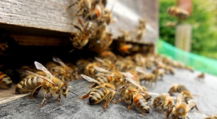 Uno sciame di api funziona come il cervello umano, in cui ogni ape è un neurone