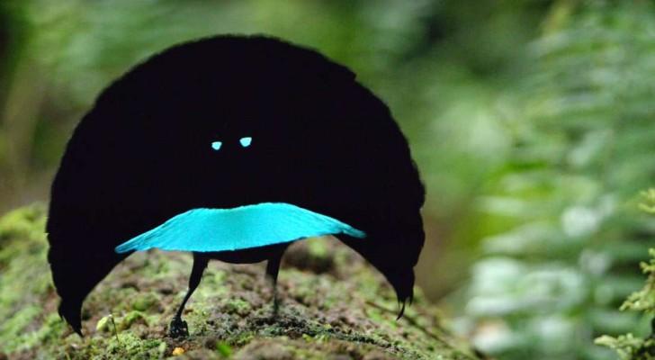 Er is een vogel ontdekt die zulke zwarte veren heeft dat 99.95% van het zonlicht erdoor wordt geabsorbeerd.