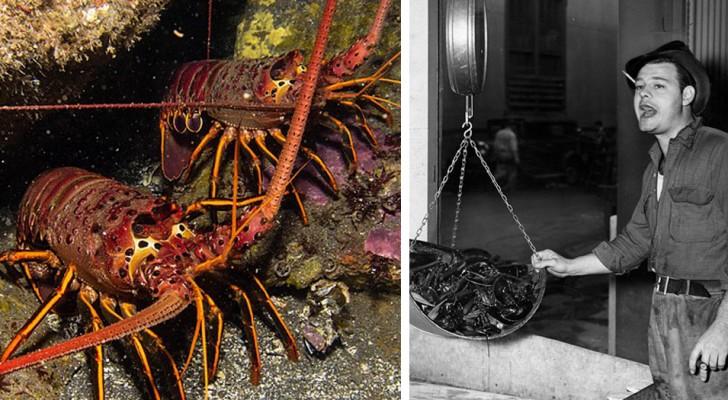 Oggi mangiare l'aragosta è cosa da ricchi, ma pochi sanno che un secolo fa le cose erano molto diverse