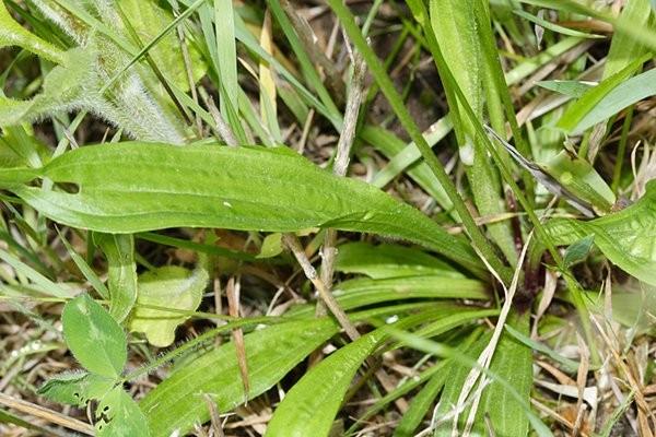 Di sicuro hai questa pianta nel tuo giardino: smetti di calpestarla e comincia a consumarla!