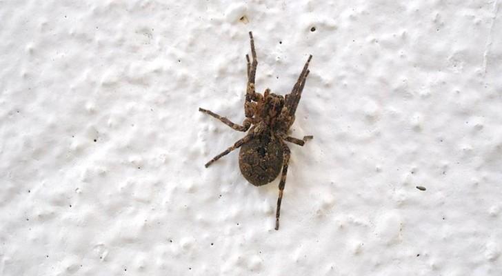 Waarom zou je een spin nooit dood moeten maken, zelfs niet als je bang bent?