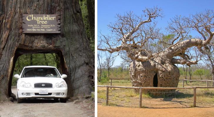 Der älteste, der breiteste oder der einsamste: 12 prächtige Bäume, die einen Weltrekord halten