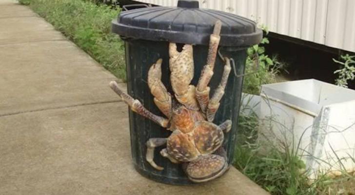 Le gigantesque crabe de cocotier : tous les secrets de l'animal que Darwin appelait