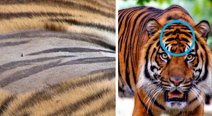 10 choses insolites peu connues sur les tigres qui expliqueront le charme de cet animal.