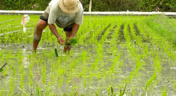 Wetenschappers denken een gemuteerde vorm van rijst te hebben gevonden die het HIV-virus neutraliseert