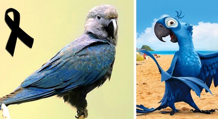 De Spix' ara, de vogel die beroemd werd door de Disneyfilm