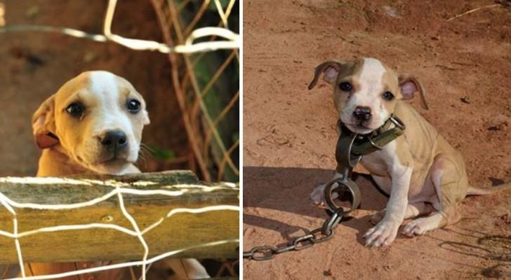 Een Geketende Hondenpup Die Vechthond Zou Worden, Wordt Gered Tijdens Een Ontroerende Reddingsactie