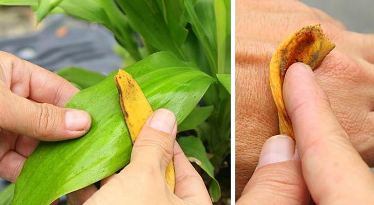 Au lieu de jeter les peaux de bananes, découvrez ces 6 utilisations inattendues et utiles