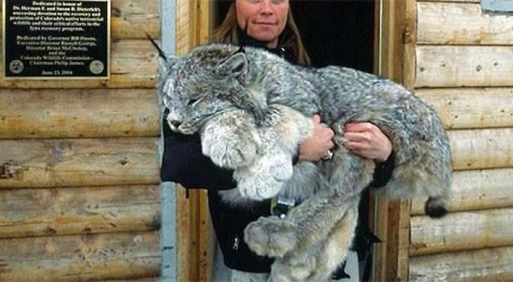 Les énormes pattes du lynx du Canada en font une créature unique et merveilleuse
