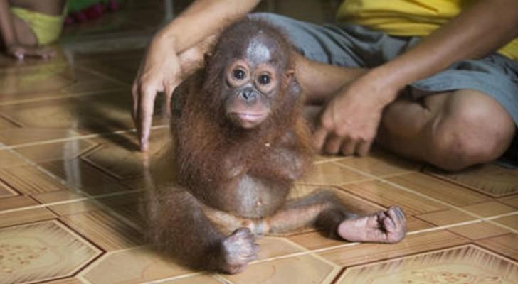 Un piccolo orangotango continua ad abbracciare se stesso... Il motivo è straziante