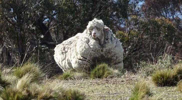 Ein Schaf entkommt der Herde: 5 Jahre später findet man es wieder...mit 40 Kilogramm Wolle am Leib!