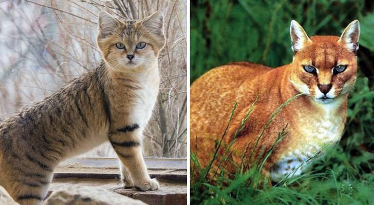Dit Zijn De Meest Zeldzame En Onbekende Wilde Katten Ter Wereld, Hun Schoonheid Kent Z'n Weerga Niet!
